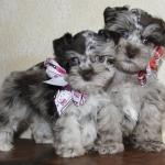 X-mas puppies 217