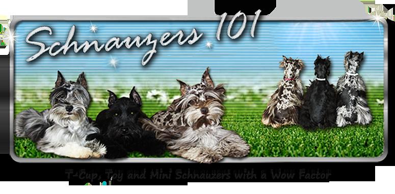 Black schnauzer breeders australia