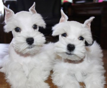 Toy & Mini Schnauzer Puppies